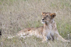 Female lioness in grasses, Serengeti Royalty Free Stock Images