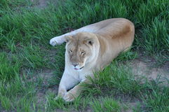 Female lioness laying down in lowland grass Royalty Free Stock Image