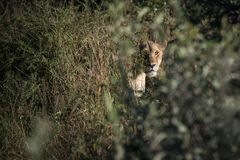 Female Lion in the bush on safari Royalty Free Stock Photos