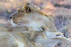 Female lioness reclined in the shade. A restful female lioness in the shade grooming and being vigilant stock images