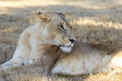 Female lioness reclined in the shade. A restful female lioness in the shade out of the hot dry grasslands resting grooming vigilant of her surroundings stock photo