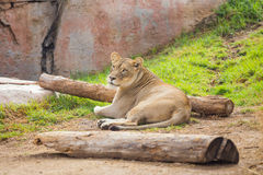 Female Lioness Relaxing Royalty Free Stock Photo