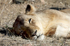 Female lioness resting after mating Royalty Free Stock Photography