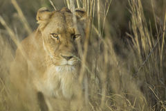 Female lioness walking through grass Stock Image