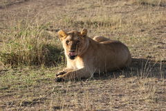 Female Lioness in the wild maasai mara Royalty Free Stock Photos