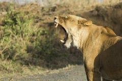 Female lioness yawning Royalty Free Stock Image