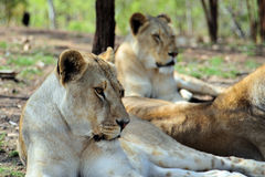 Female lions. Two female lions resting in a wildlife park Stock Image