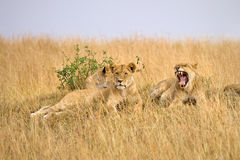 Female lions. Small group of female lions resting on hillside Royalty Free Stock Image