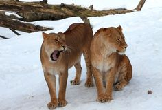 Female lions. Taken in Kristiansand zoo in February 2013 Stock Photo
