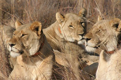 Female lions Stock Photography