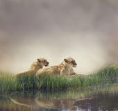 Female Lions Royalty Free Stock Photography