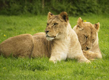 Female lions resting Stock Photos