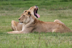 Female lions Royalty Free Stock Photo