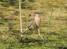 Female little bittern with fish in beak in funny pose. On the reed Stock Images