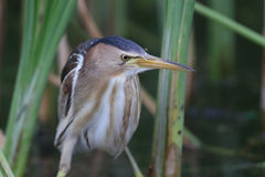 Female little bittern with mosquito on head Royalty Free Stock Photo
