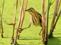 A female little bittern neatly sneaks up. To the prey from the reed Stock Images