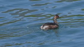 Female little grebe in a wedding dress swims on the river. In may royalty free stock image