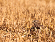 Female Little Owl hunting. A female Little Owl (Athene noctua) catches a locust on the ground of a wheat field Stock Images