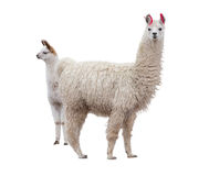 Female llama with baby Royalty Free Stock Photography