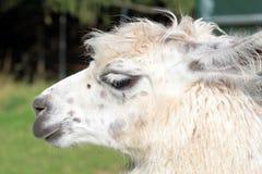 Female llama stock image