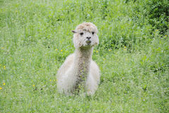 Female Llama and Grazing Land Stock Images