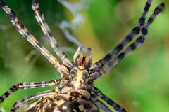 Lobed Agiope. Female Lobed Agiope spider waiting on her web with stabilimentum clearly visible royalty free stock photos