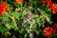 Lobed Agiope. Female Lobed Agiope spider waiting on her web with stabilimentum clearly visible royalty free stock image