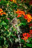 Lobed Agiope. Female Lobed Agiope spider waiting on her web with stabilimentum clearly visible royalty free stock photo