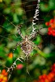 Lobed Agiope. Female Lobed Agiope spider waiting on her web with stabilimentum clearly visible stock photography