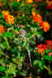 Lobed Agiope. Female Lobed Agiope spider waiting on her web with stabilimentum clearly visible stock photo
