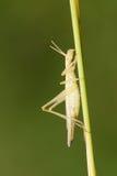 Female locust Stock Photography
