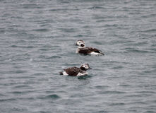 Very cute Long-tailed ducks  Royalty Free Stock Photography