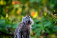Female long tailed macaque monkey gazes upwards inside dense Malaysian forest Stock Photo