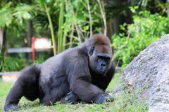 Female lowland gorilla Stock Photography