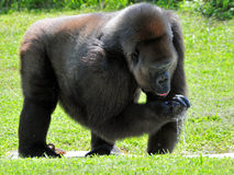 Female Lowland Gorilla Drinking Royalty Free Stock Image