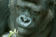 Female lowland gorilla Royalty Free Stock Image