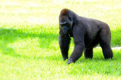 Female lowland gorilla in green grass Stock Photography
