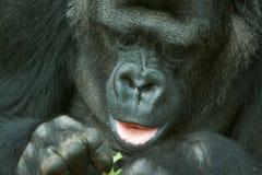 Female lowland gorilla Stock Photo