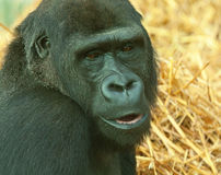 Female lowland gorilla Royalty Free Stock Photo