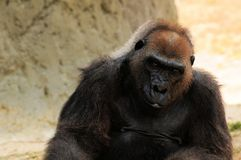 Female lowland gorilla relaxing Stock Images
