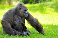 Female lowland gorilla relaxing Stock Photography