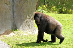 Female lowland gorilla on a walk Royalty Free Stock Photography