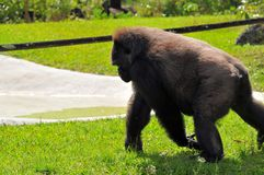 Female lowland gorilla walking Royalty Free Stock Photo