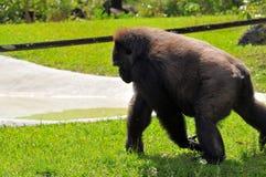 Female lowland gorilla walking Royalty Free Stock Photo
