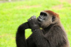 Female lowland gorilla in a zoo Royalty Free Stock Images