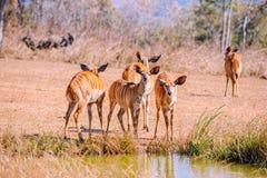 Female lowland nyalas in Malawi, Africa royalty free stock photo