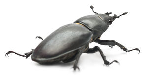 Female Lucanus cervus Stock Photos