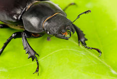 Female Lucanus cervus Stock Photo