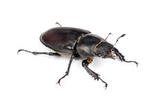 Female Lucanus cervus (stag beetle) Stock Photo
