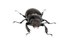 Female Lucanus cervus (stag beetle) Royalty Free Stock Photography